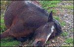 caballo-muerto