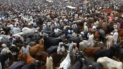 Trapi de ganado en el Hajj pregrinacion a la meca