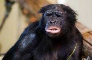 bonobo-face