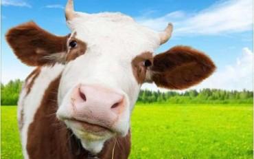 vaca-800x500