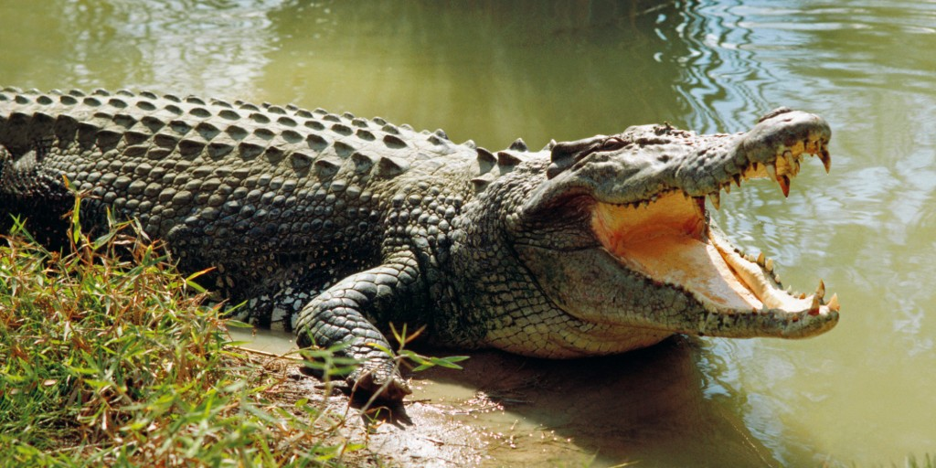 Saltwater crocodile (Crocodylus porosus) worlds largest living reptile, cooling himself with open mouth, Darwin, Northern Territory, Australia